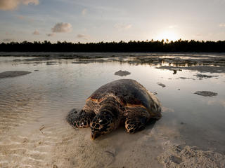Hawskbill turtle (Eretmochelys imbricata) mother makes her way to sea after laying her eggs on the beach. Low tide falls very low and wide in Moromahu Island, Wakatobi, South Sulawesi, Indonesia. 5 November 2009