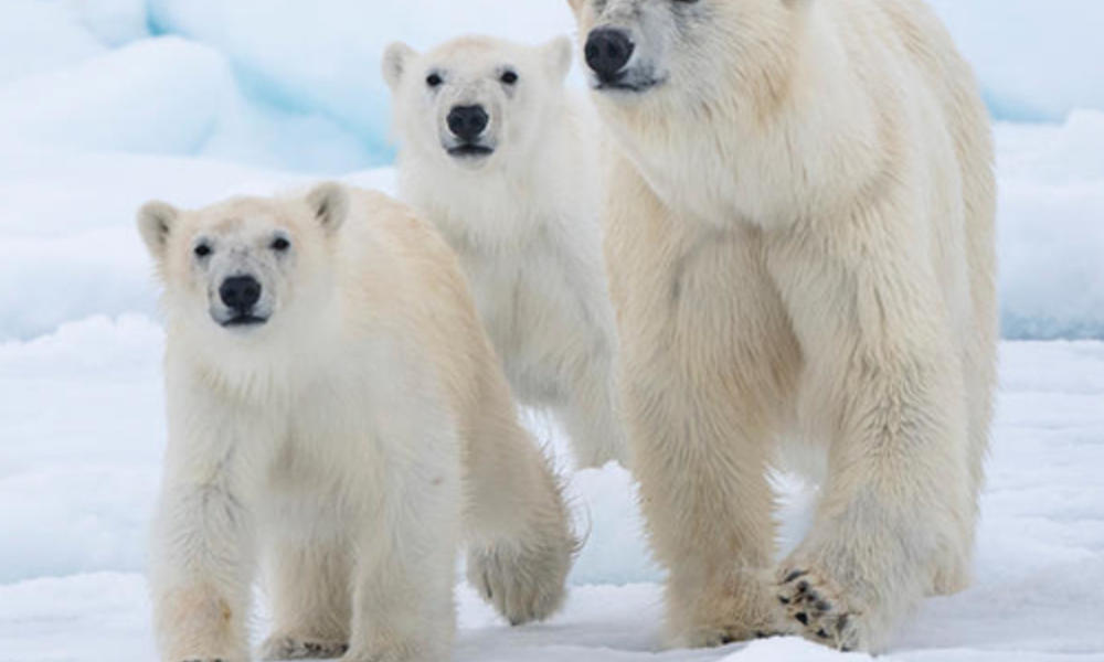 Polar bear mom and cubs walking through the snow