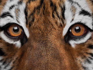 Tiger making direct eye contact. Cover image for the 2018 OGC Catalog.