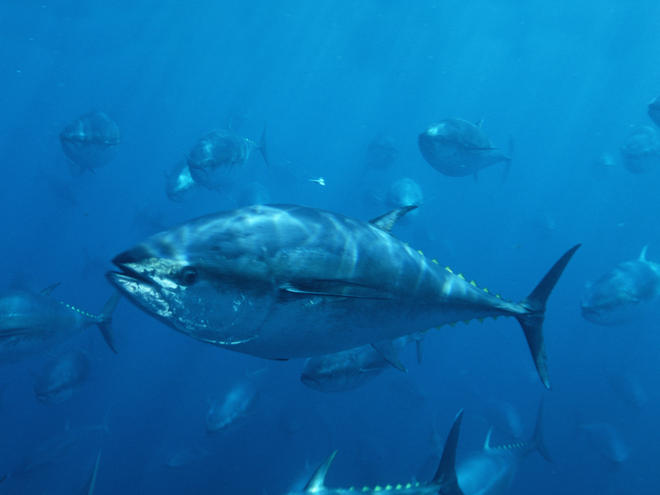 Pacific Bluefin Tuna