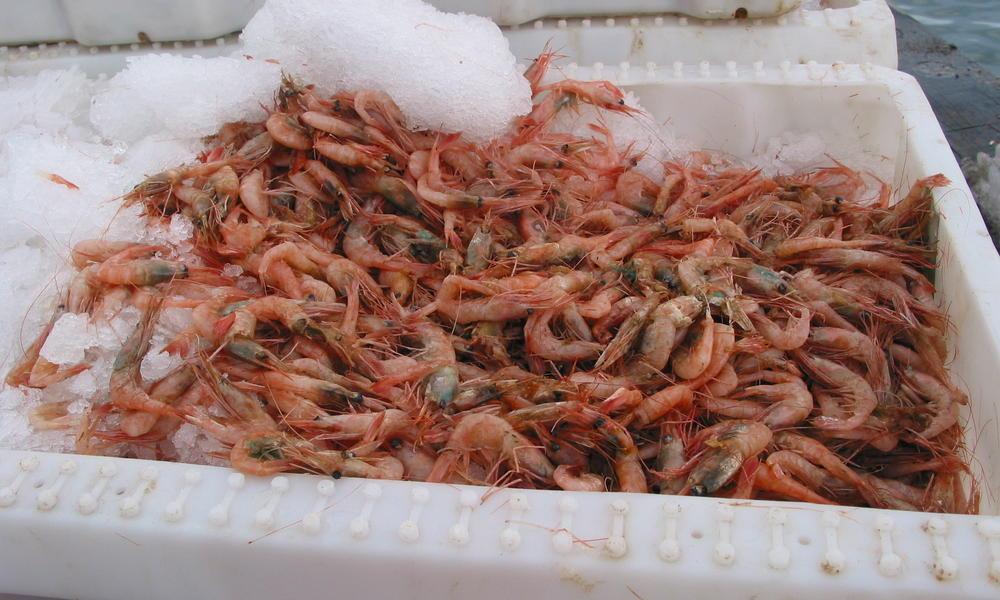 Shrimp, Greenland