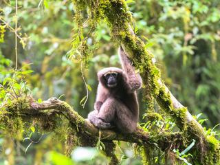 gibbon Hoolock tianxing