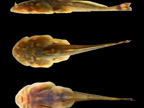 Pancake catfish