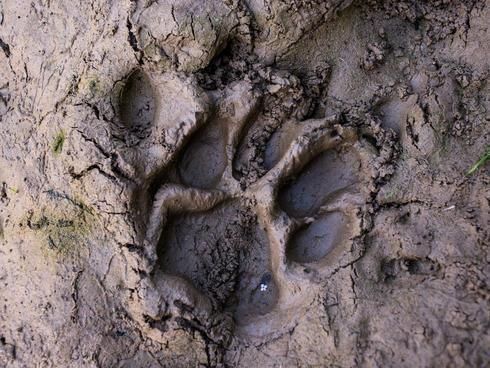 tiger paw print