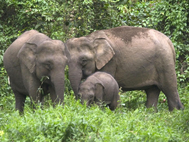 Borneo Pygmy Elephant Species Wwf