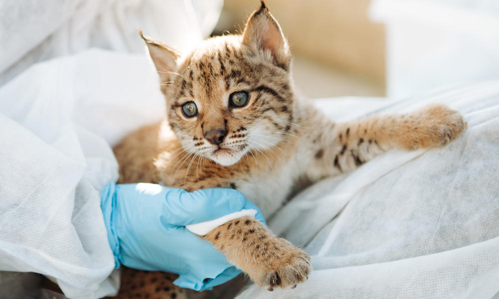 A baby lynx receiving care