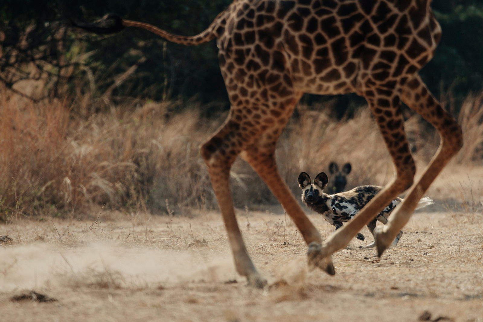 African Wild dog chases giraffe