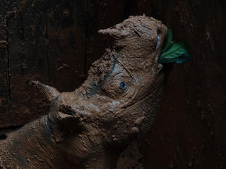 Sumatran rhino covered in mud
