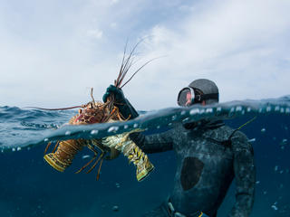 Scuba diver with lobsters