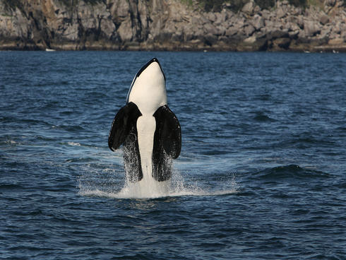 Orca breaching surface