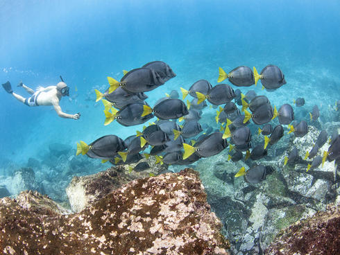 Snorkeling with razor surgeonfish off the coast of Santa Cruz Island