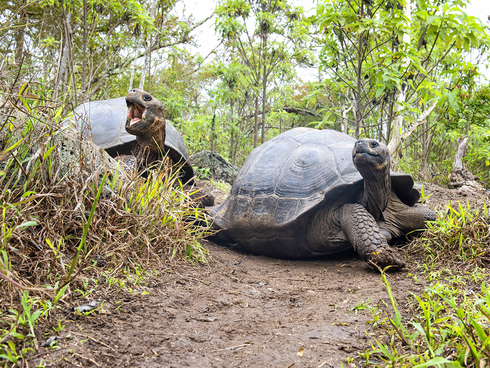 The giant tortoise inhabitants on Floreana Island