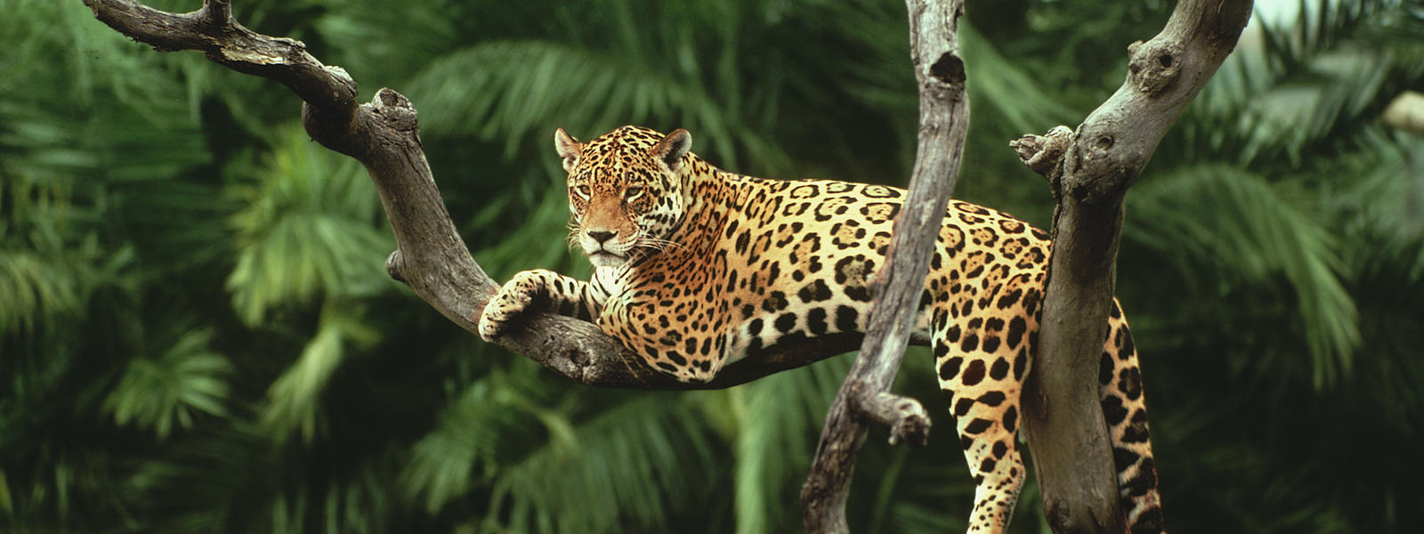 Jaguar species wwf responsible forstry biodiversity loss voltagebd Gallery
