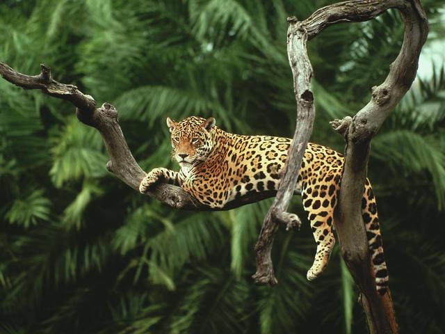 Jaguar | Species | WWF