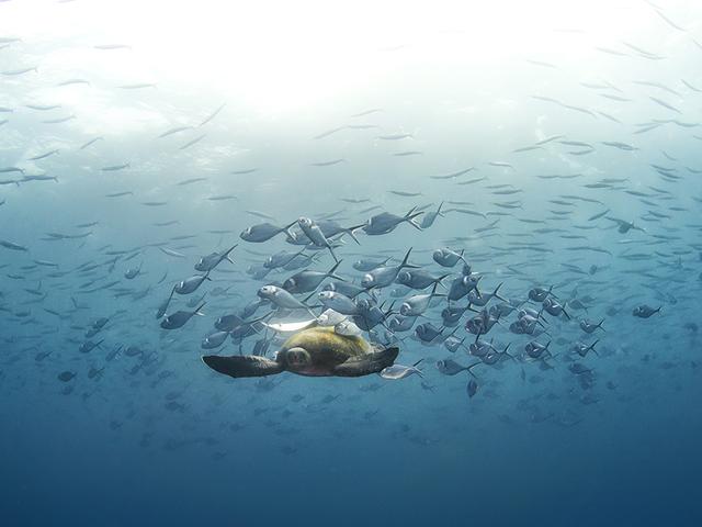 Sea turtle swimming underwater.