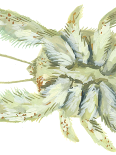 Illustration of kiwa tyleri also known as the 'Hoff crab'