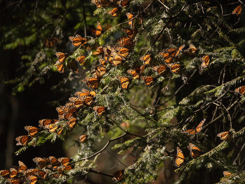monarch butterflies WW229877
