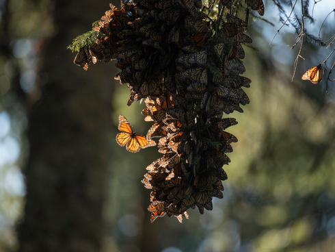 monarch butterflies WW229864