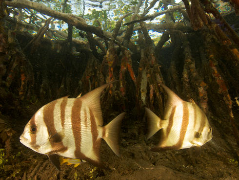 fish in mangrove WW22254