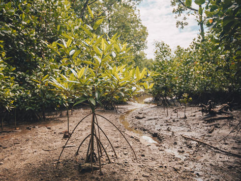 mangrove WW284833
