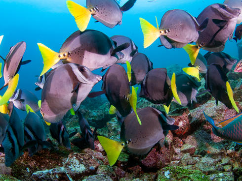 Razor surgeonfish WW289513 Antonio Busiello