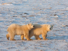King of the arctic polar bears travel