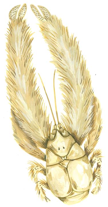 Illustration of kiwa hirsuta