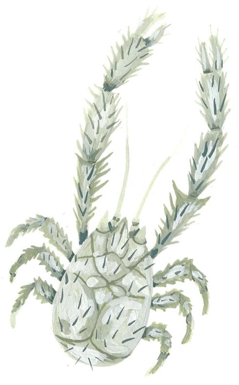 Illustration of kiwa puravida