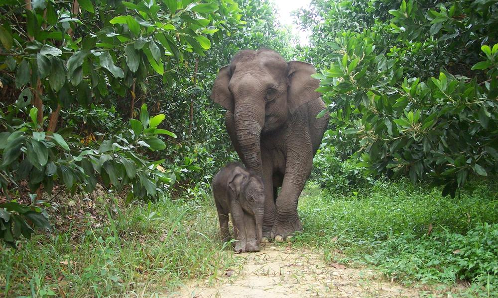 Sumatran Elephant Species Wwf