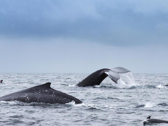 Dolphins off the coast of Ecuador