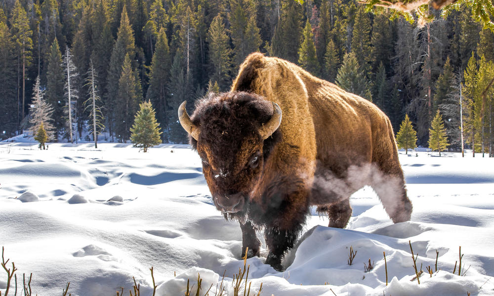 Plains bison in Yellowstone National Park, United States