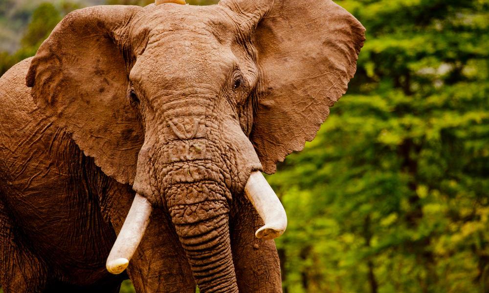 African elephant (Loxodonta africana) in the Masai Mara reserve, Kenya