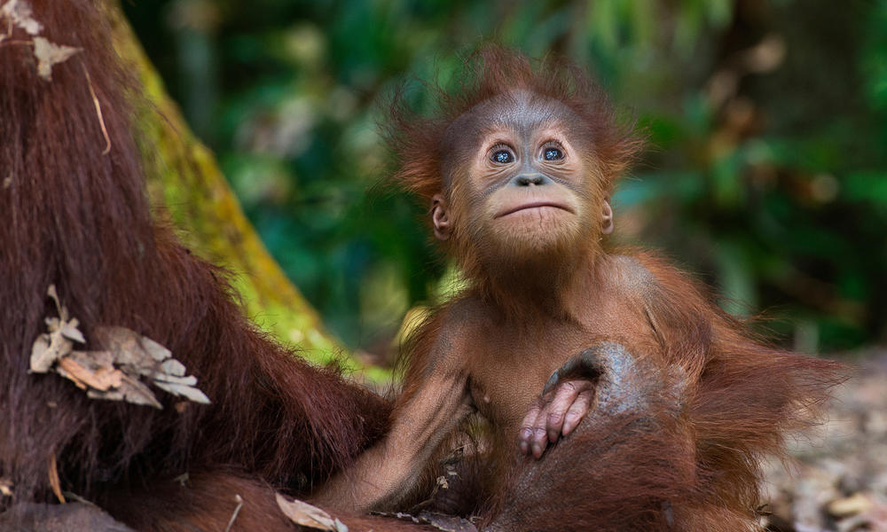 Sumatran orangutan (Pongo abelii) with infant at the Gunung Leuser National Park, Indonesia