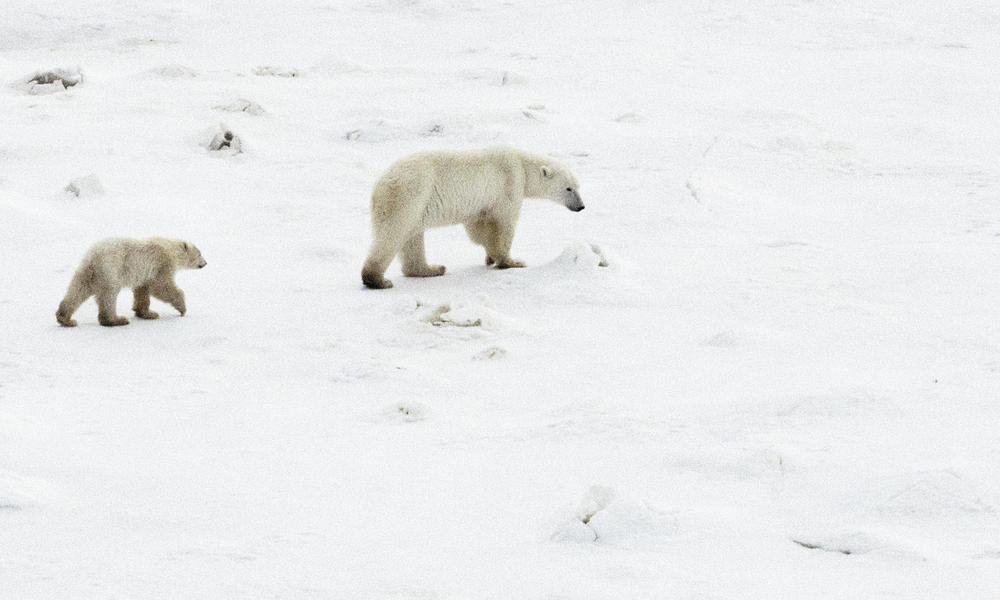 Polar bear mom and ~10 month old cub, near Churchill, CA.