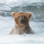 brown bear in river