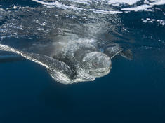 Leatherback sea turtle swimming