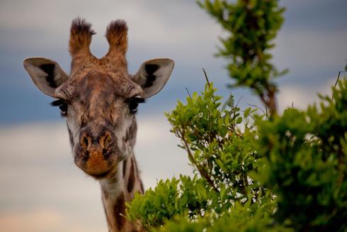 A giraffe (Giraffa camelopardalis)