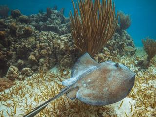 Stingray swimming beside a coral reef