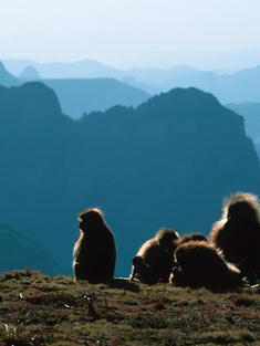 a group of baboons overlooking a valley in ethiopia