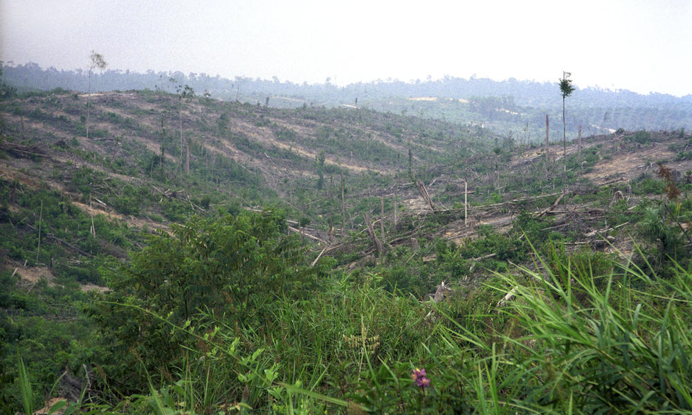 Clear-cutting for Oil palm