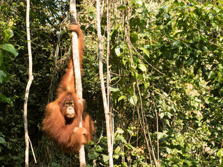 orangutan forest WW257336 Neil Ever Osborne