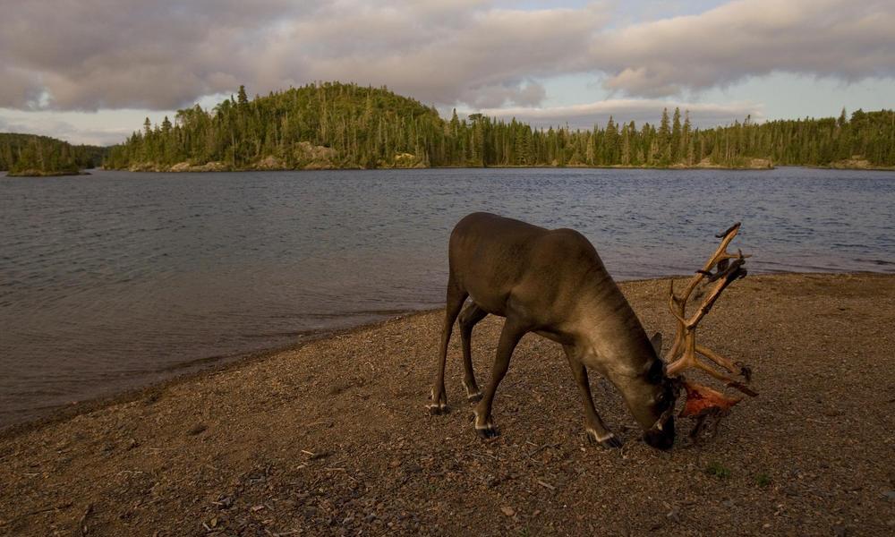 boreal forest and caribou WW197983 GaryAndJoanieMcGuffin