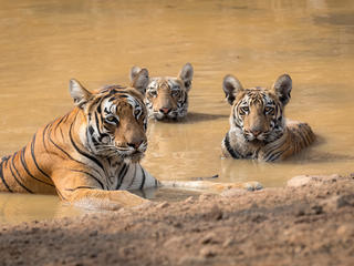 Female tiger and cubs rest in water