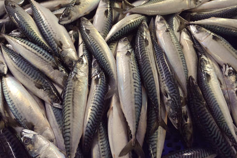 Atlantic mackerel on processing line