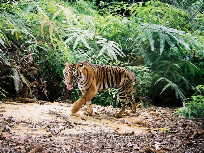 Sunda Tiger Species Wwf