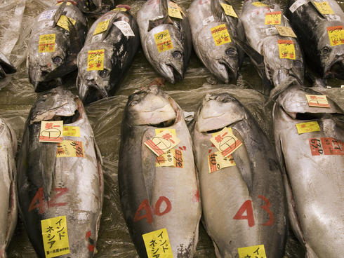 Fresh tuna, labelled and displayed for sale