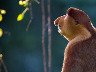 Proboscis Monkey Anthony Thijssen WW267478