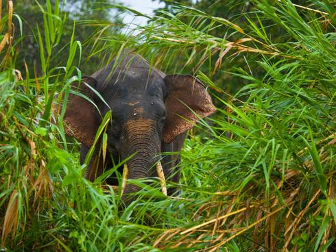 pygmy elephant Juan Carlos Munoz WW22023