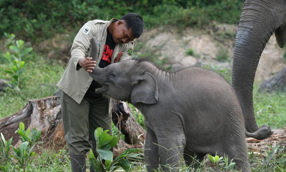 الفيل السومطري