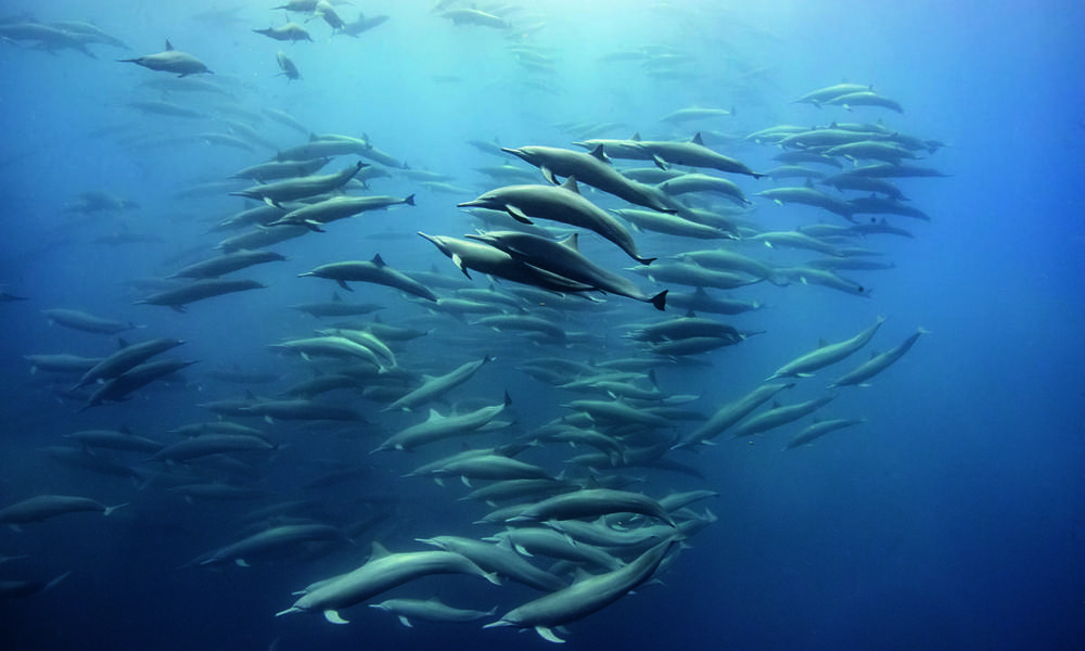 spinner dolphins_Costa Rica_Our Planet